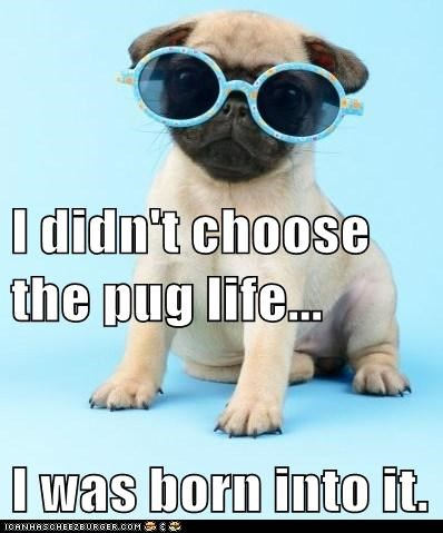 I didn't choose the pug life... I was born into it.