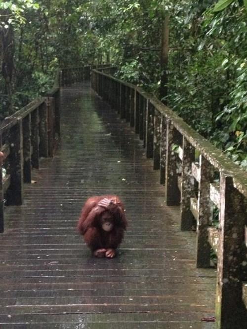 umbrella,baby,orangutan,rain