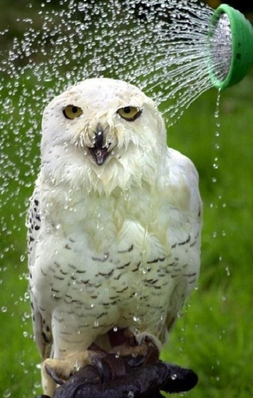 shower,Owl,cooling down