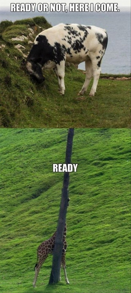giraffes,hide and seek,funny