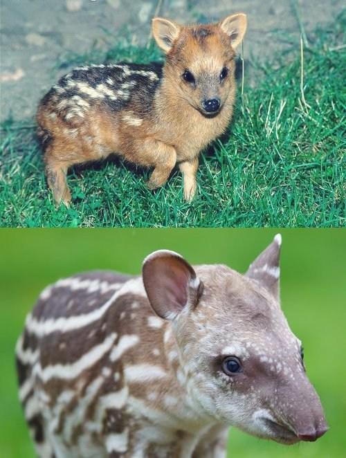 Squee Spree: Pudú vs. Tapir