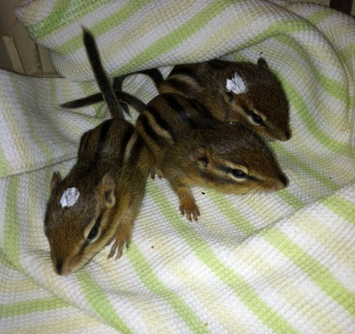 Rescued Baby Chipmunks