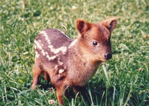 Squee Spree Winner: Pudú