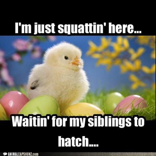 chicken,siblings,eggs,cute,funny