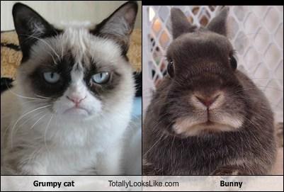 Grumpy cat Totally Looks Like Bunny