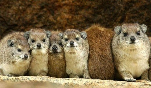 Rock Hyrax Going Against the Crowd