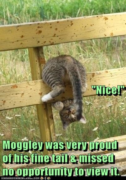 """Nice!"" Moggley was very proud of his fine tail & missed no opportunity to view it."
