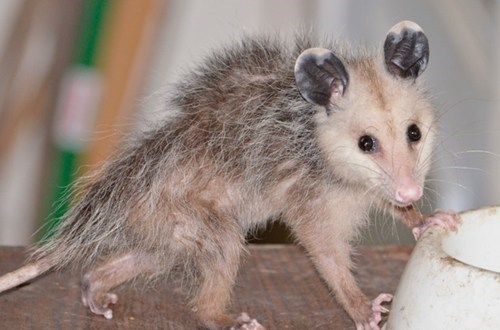 Baby Possums Have Bad Hair Days, Too!
