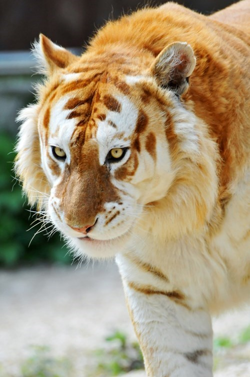 A Rare Golden Tiger