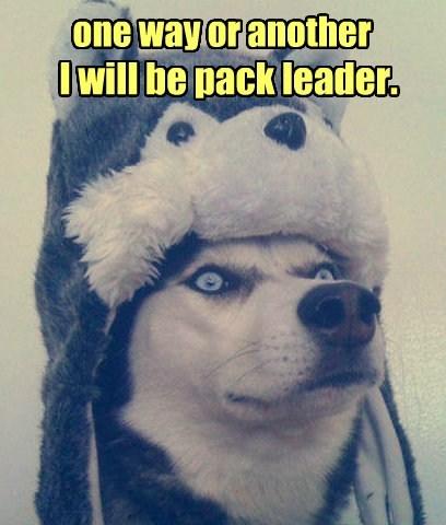 pack leader,huskey,no shame,hat,funny