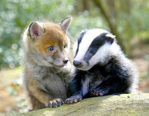 Fox and Badger