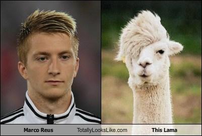 Marco Reus Totally Looks Like This Llama