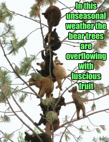 In this unseasonal weather the bear trees are overflowing with luscious fruit