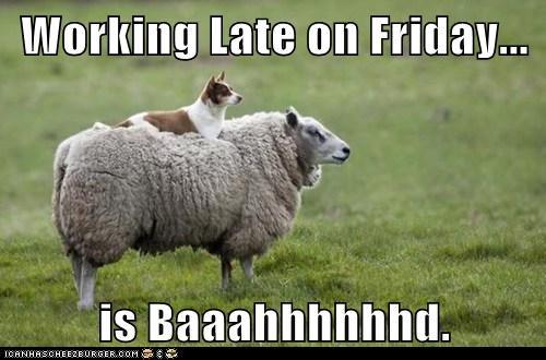 sheep,dogs