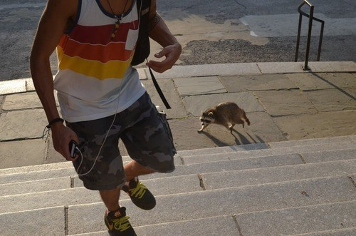 photobomb,stairs,raccoons,funny