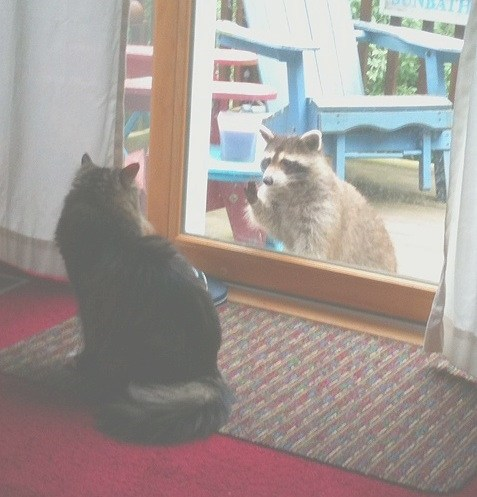 Our Cat Baby and Our Pet Raccoon Louise Saying Hello