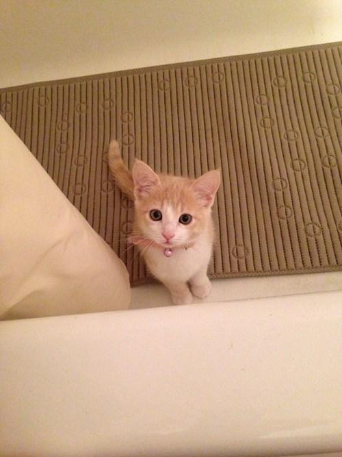 kitten,bathtub,beauty