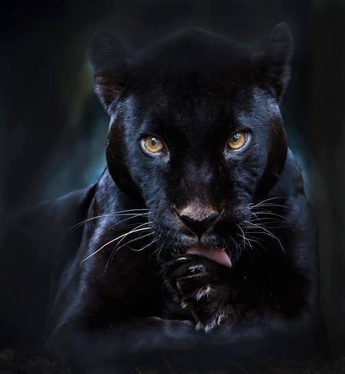 Panther kiss