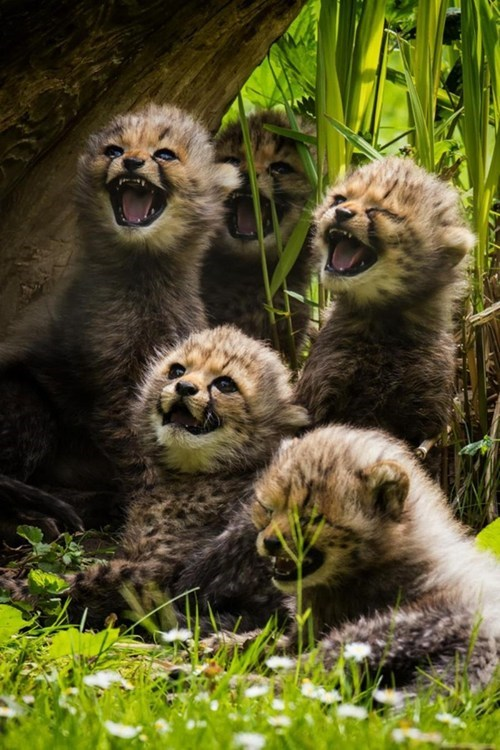 Cackling Cheetah cubs