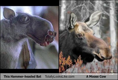 This Hammer-headed Bat Totally Looks Like A Moose Cow