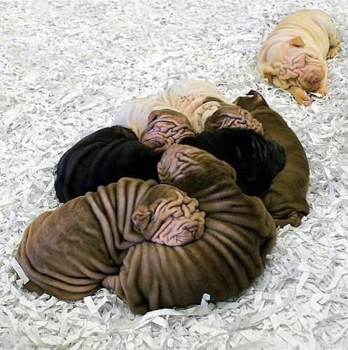 wrinkled,sharpie,puppies,cute