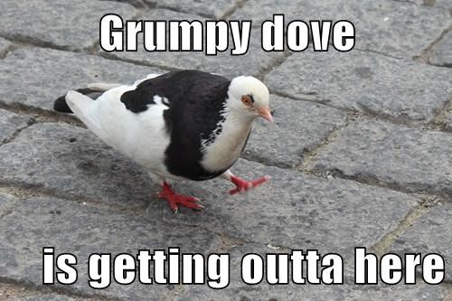 Grumpy dove  is getting outta here