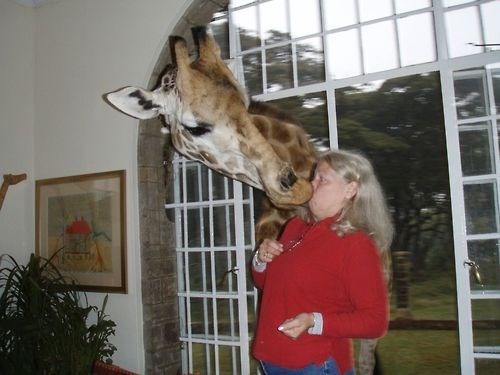 cute,giraffes,animals