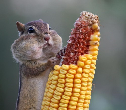 So much corn!