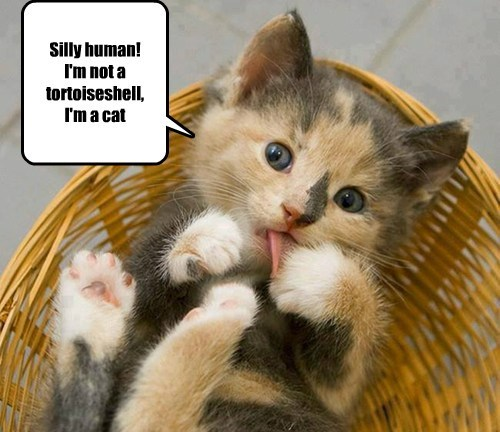 Silly human! I'm not a tortoiseshell,  I'm a cat