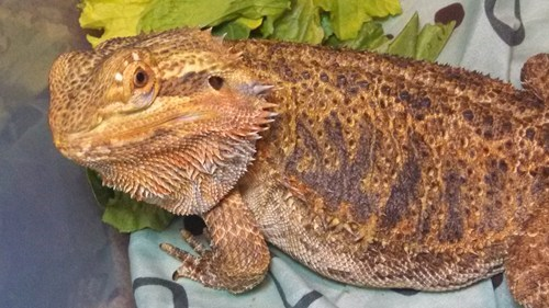 bathtime,bearded dragon,grumpy
