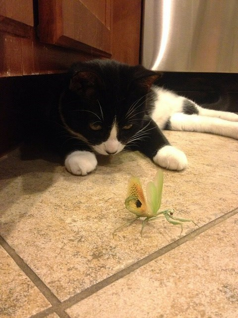 cat,praying mantis