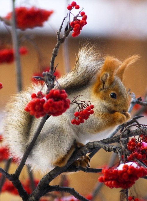 White squirrel red berries