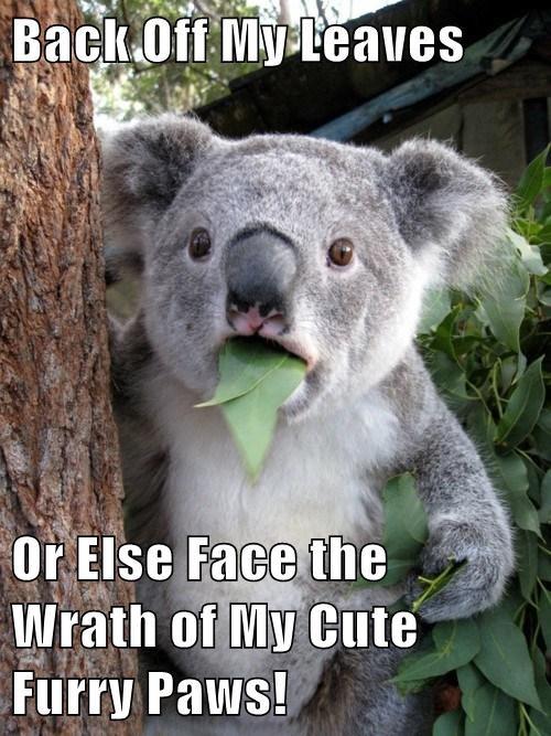 koalas,cute,threat,leaves