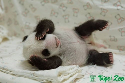 The Littlest Giant Panda You'll Ever Squee!