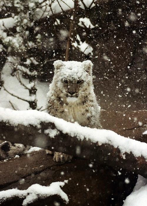 Snow-y Lepord Cub