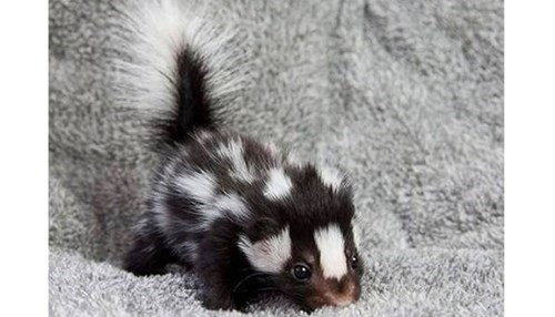 Baby Pepe Le Pew