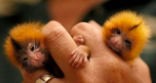 Gorgeous Golden Lion Tamarin Babies