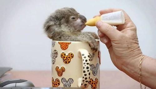I'll Have One Cuppa Koala, Please