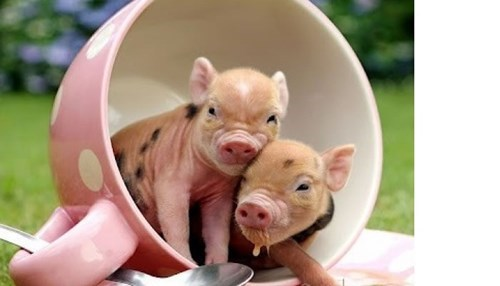 Spotted Piglets in a Spotted Mug