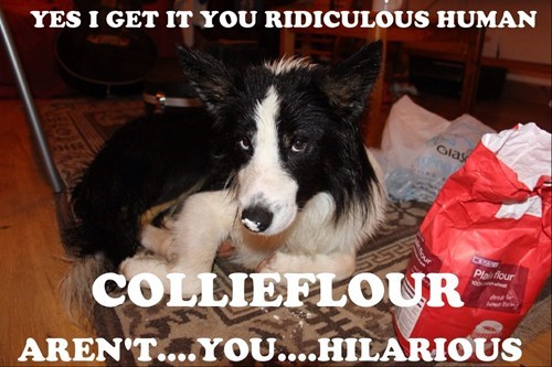 dogs,collie,funny,flour