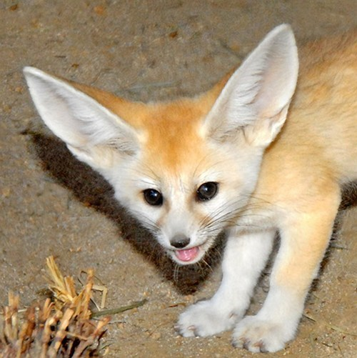 foxes,ears,cute
