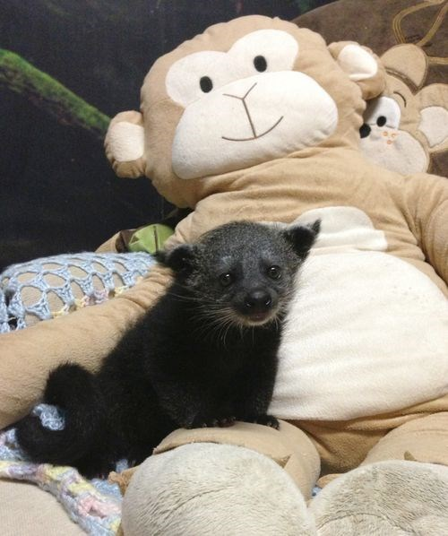 "Binturong or ""Bearcat"" born at the Staten Island Zoo"