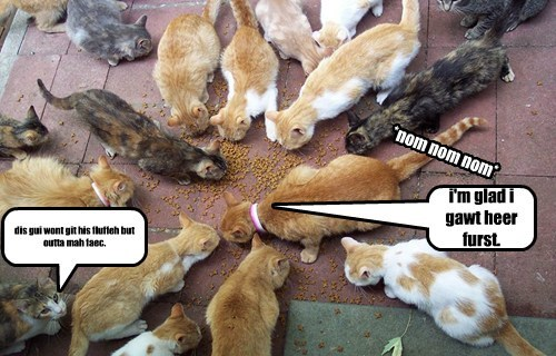 lawl kittens eat kibbles and noms