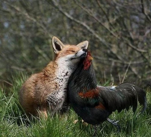 chicken,snuggle,rooster,fox,cute