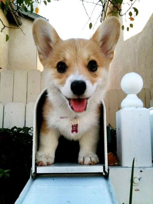 mail,delivery,corgis