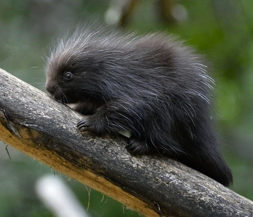 Zoo Vienna Welcomes Cute Porcupette!
