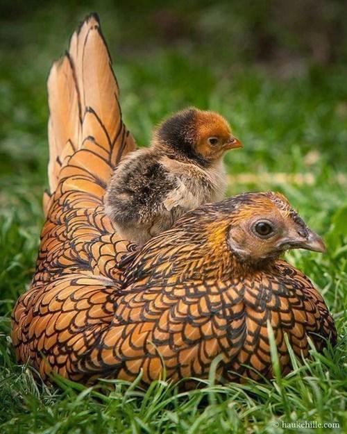 chickadee,cute,fuzzy,bird
