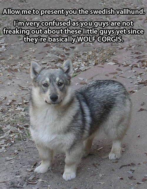 swedish wallhund,corgis,wolf