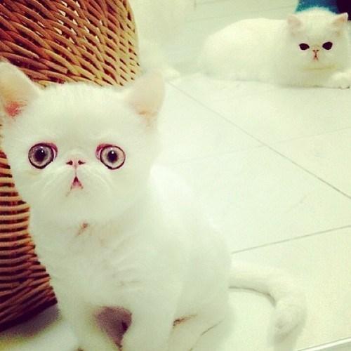 persian,kitten