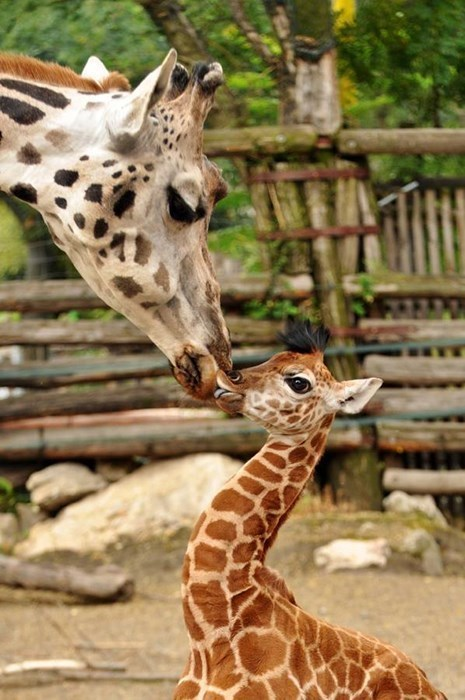 Giraffe Kisses!